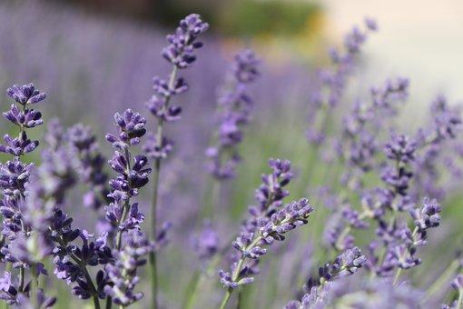 lavender-2425616__340